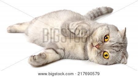 Gray Scottish fold cat isolated on white background