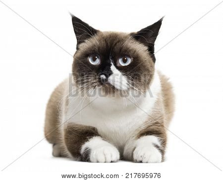 scottish straight cat lying down, isolated on white