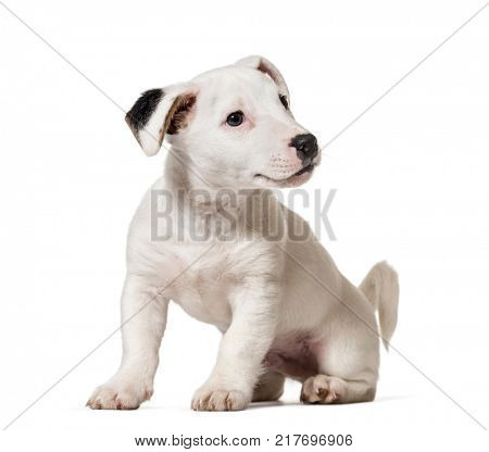 Puppy jack Russell Terrier, dog, (8 months old), isolated on white