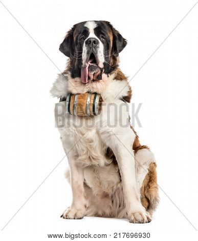 Sitting St. Bernard dog with a barrel (14 months old), isolated on white