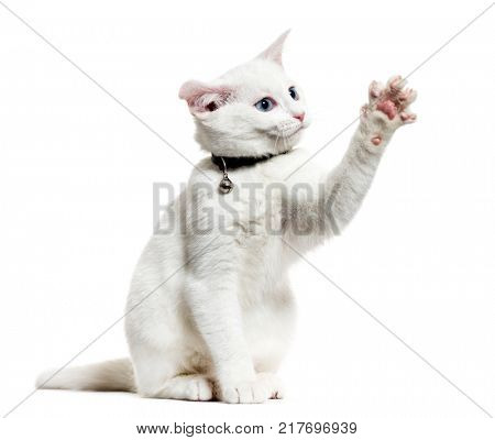 White kitten mixed-breed cat wearing a bell collar and playing, isolated on white