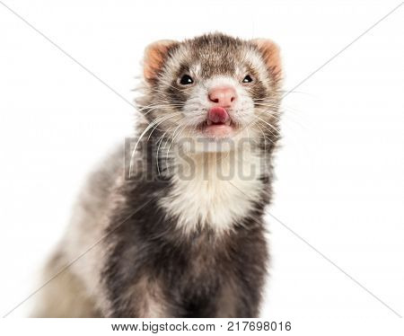 Ferret licking its lips