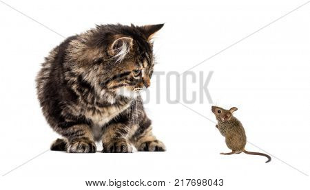 Stripped kitten mixed-breed cat looking down at a real mouse, isolated on white
