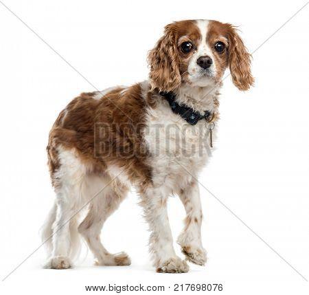 Mixed breed dog walking