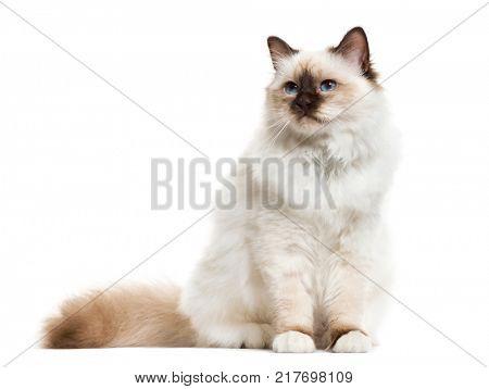 Birman cat, sitting, isolated on white
