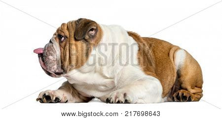 Side view of a english Bulldog, dog sticking the tongue out, isolated on white