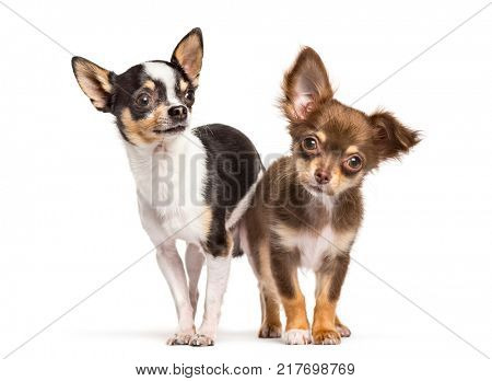 Two chihuahua dogs looking at the camera