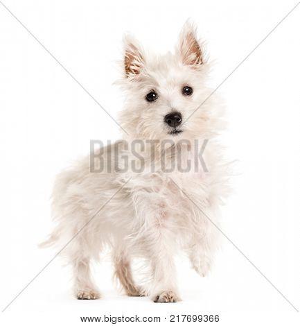 West Highland White Terrie dog, westie, walking , isolated on white