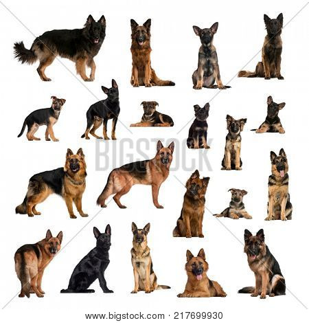 Large collection of German Shepherd Dog, adult and puppy, in different position, Isolated on white background.
