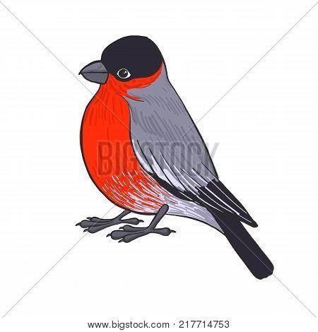 bullfinch, vector bird, hand drawn songbird, isolated vector elements