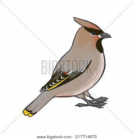 waxwing, vector bird, hand drawn songbird, isolated vector elements