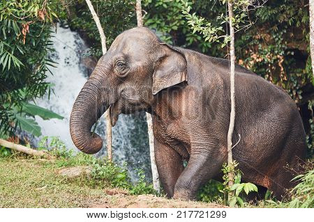 Asian female elephant against waterfall in tropical rainforest. Chiang Mai Province Thailand.