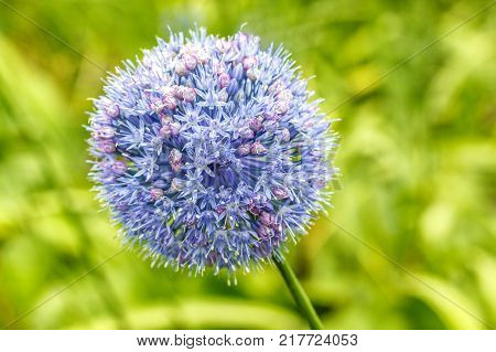 Royal caeruleum allium. Blue flower (blue onion) of globular shape flowers in summer in city park. Decorative bulbous perennial plant. Blue bow closeup on background of green grass.