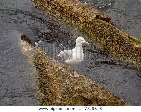 Seagull on rocky shore. Caspian Sea. Kazakhstan.