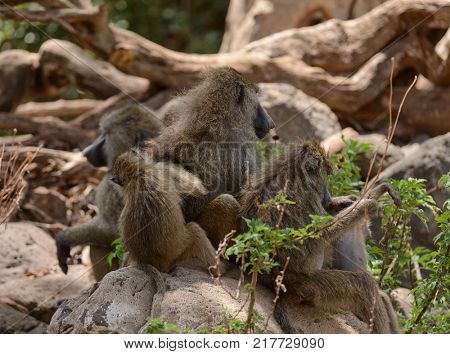 troop of Olive Baboons preening each other (scientific name: papio anubis, or Nyani in Swaheli) in the Lake Manyara, National park, Tanzania