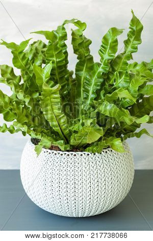 houseplant Asplenium nidus in white pot