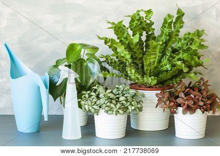 houseplants Asplenium nidus, peperomia and fittonia in flowerpot