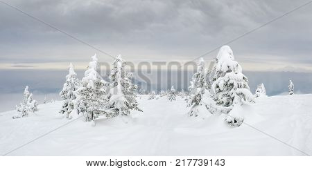 Sparse growth of trees with small snow-covered spruces on a mountain in Carpathians in cloudy day