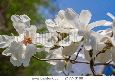 White magniolia blooming . Magnolia kobus. Mokryeon, Kobus magnolia, Kobushi magnolia Spring flower on sky background