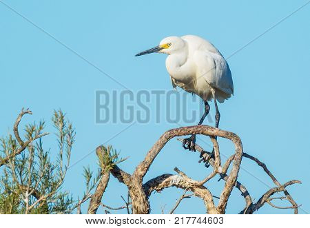 A Little Egret perched on a tree at Herdsman Lake in Perth, Western Australia.