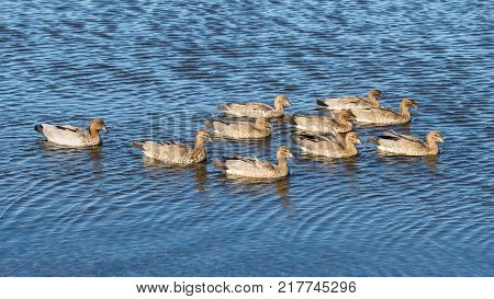A family of Australian Wood Duck (Chenonetta jubata) swimmimg at Herdsman Lake in Perth, Western Australia.