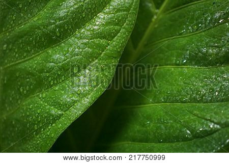 Anthurium Jenmanii leaves in the morning, anthurium leaf