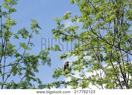 Bird Common Blackbird or Eurasian blackbird (Turdus merula) sitting on Sorbus tree against blue sky