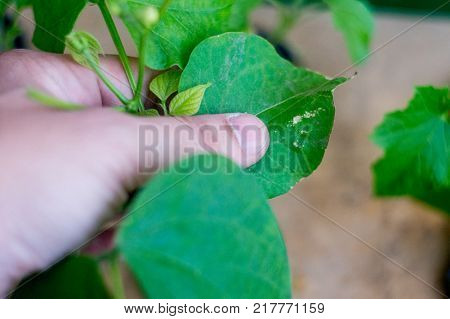 Hand holding leaf spots damage and discoloration spots on a hydroponically grown plant. Insect damage and nutrient imbalance causes issues with hydroponic growth