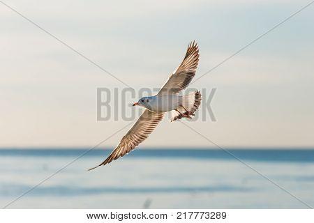 Seagull flying over sunrise sea at Bangpu beach Samutprakarn province of Thailand. Seagulls come to Bangpu every winter season.