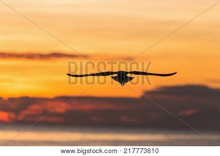 Silhouetted flying seagull with sunrise scene at Bangpu beach Samutprakarn of Thailand. Seagulls come to Bangpu every winter season.