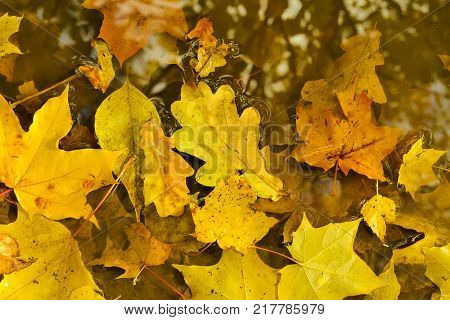 Yellow maple leaves lie in a puddle. Autumn rain in the city. View from above