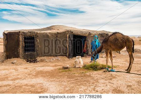 Sahara Morocco - May 10 2017: Berber man dressed in traditional moroccan gandoura and touareg watches his camel eat alfalfa in front of his Berber tent in the moroccan Sahara desert.