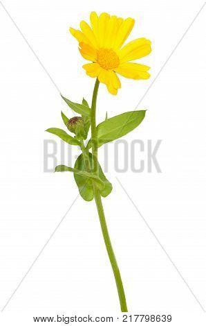 Calendula officinalis flower isolated on white background