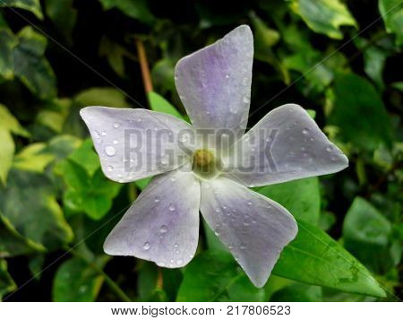 Raindrops on White Intermediate Periwinkle Flower with Green Leaves