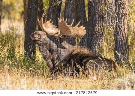 a bull shiras moose bedded during the fall rut in Wyoming