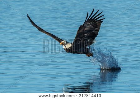Eagle leaves splash after fish grab in the calm blue water of Coeur d'Alene Lake in Idaho.