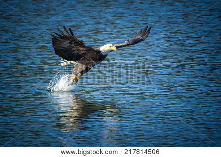 Bald eagle makes the grab for the fish on Coeur d'Alene Lake in Idaho.