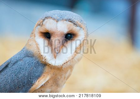 Close up portrait of common barn owl ( Tyto albahead ) . Copy space for text
