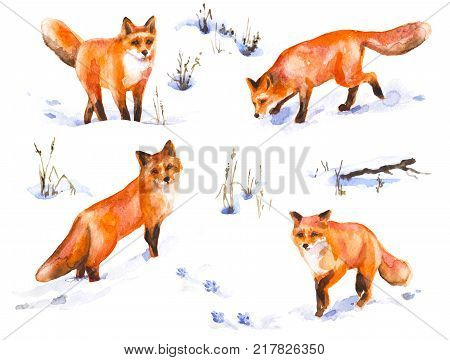 Watercolor painting. Hand drawn animalistic illustration. Red fox set. Aquarelle sketch of wild predator motion. Winter scene with snow covered field and dried grass.