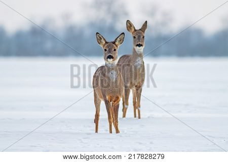 Roe deer (Capreolus capreolus) in winter. Doe and fawn deer on snow. Alert cute wild animals watching forward.