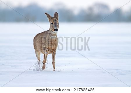 Roe deer (Capreolus capreolus) in winter. Female deer doe deer with snowy background. Wild animal walking forward determined in deep snow.