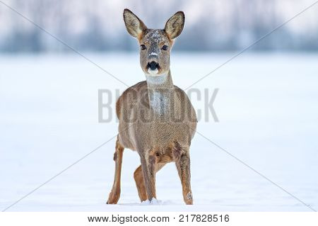 Roe deer (Capreolus capreolus) in winter. Roe deer with snowy background. Wild animal with snowy trees on background.