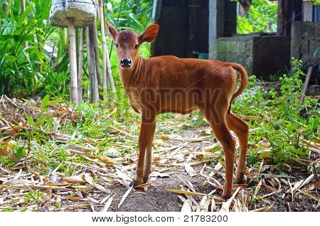 Calf On A Farm In Bali
