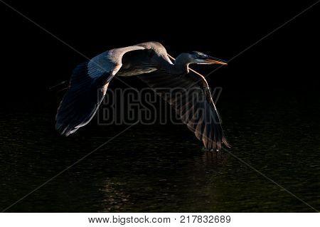 Great Blue Heron in Flight with Backlit Wings