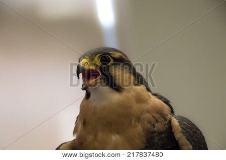 Peregrine Falcon close up portrait while screeching - Falco peregrinus