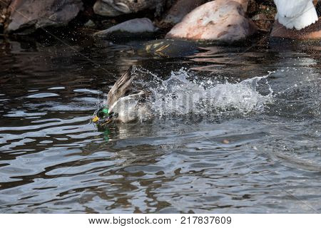 An adult Mallard drake splashes in a pond playing and grooming himself