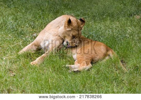 Natural behaviour of young female African lioness