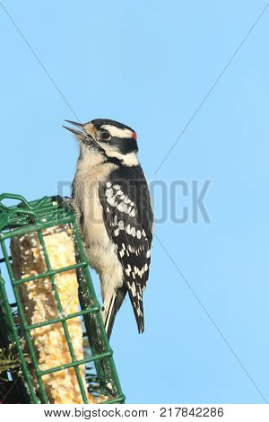 Male Downy Woodpecker (Picoides pubescens) on a suet feeder with a blue background with negative space