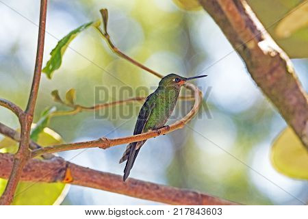 Immature Green Crowned Brilliant Hummingbird in the Monteverde Cloud Forest in Costa Rica