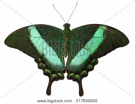 The green-banded peacock butterfly, or emerald swallowtail, Papilio palinurus, from the Philippines isolated on white background with its wings open. The butterfly has tails and green stripes on wings